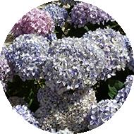 hortensierund